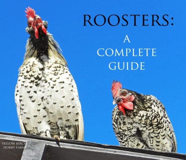 Roosters: A Complete Guide by Yellow Birch Hobby Farm