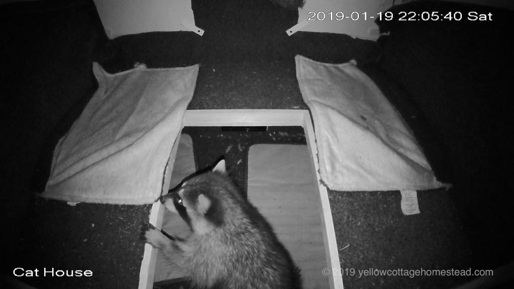 Raccoon inside