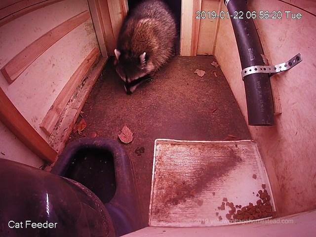 Raccoon in feeder