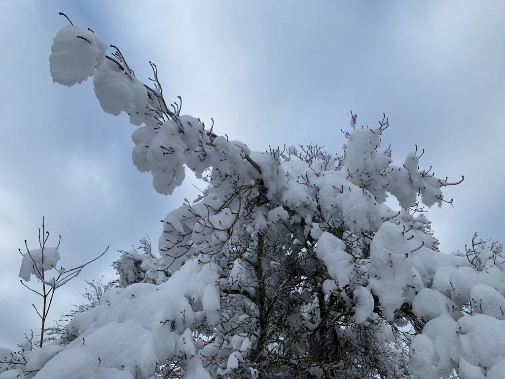 Snow on dogwood tree