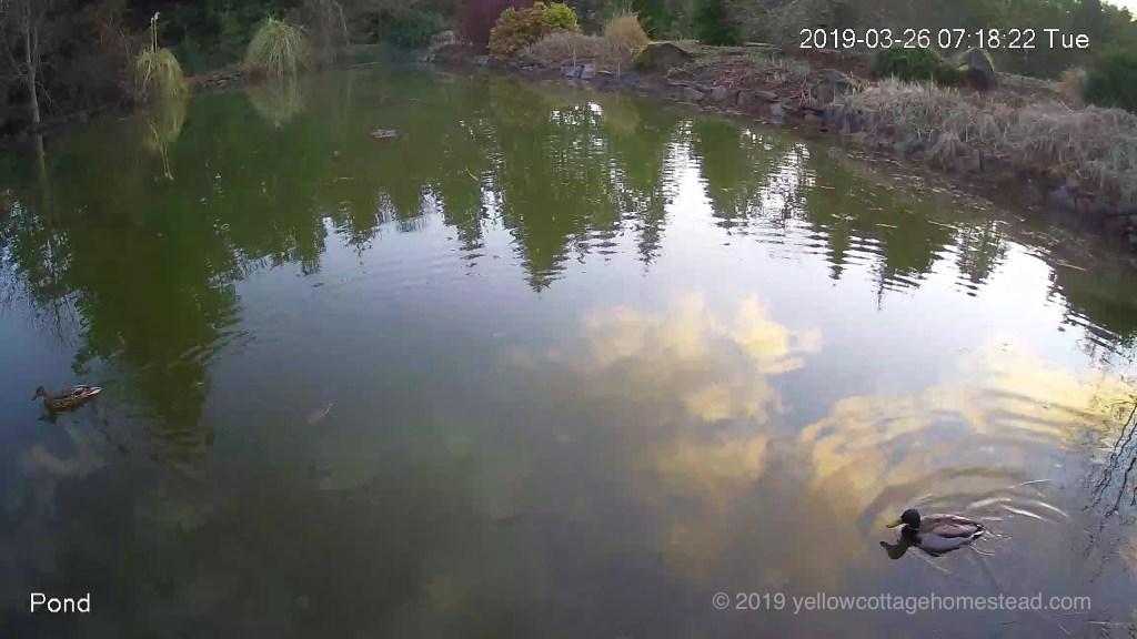 Wild ducks in pond