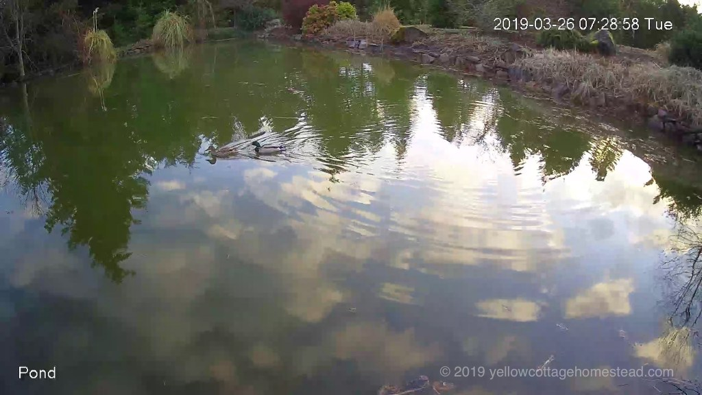 Wild ducks in pond