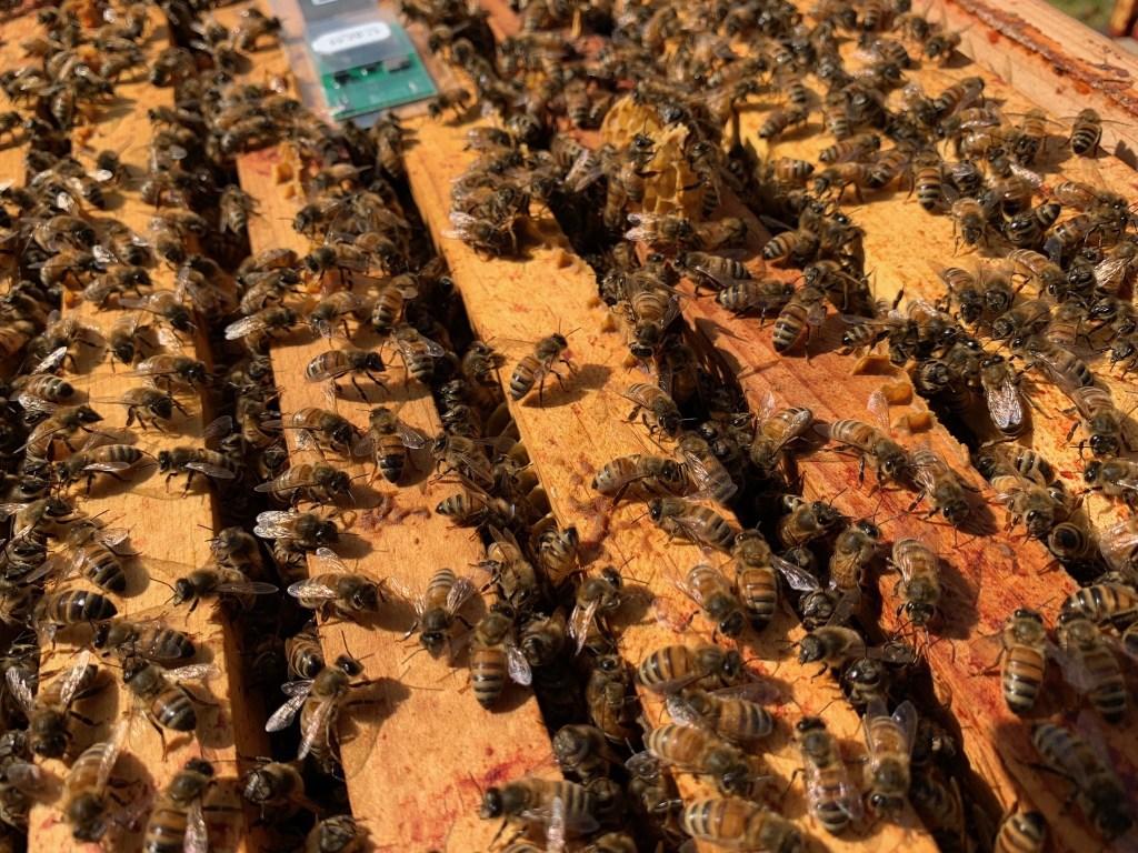 Closeup of bees