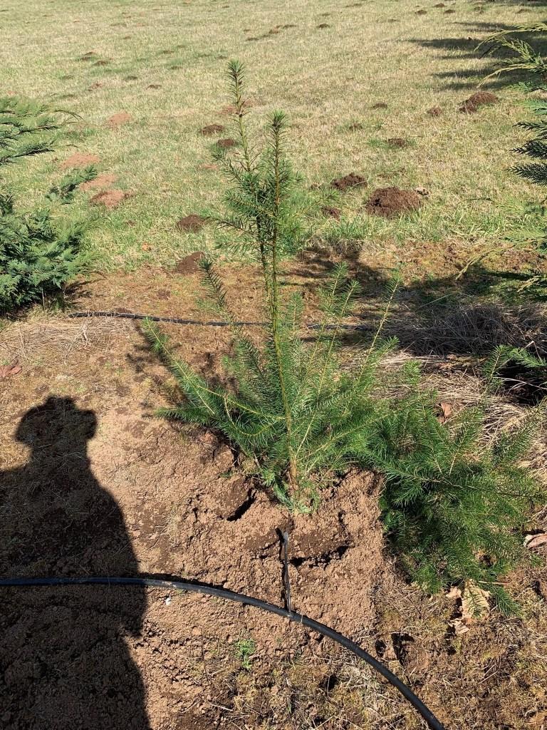 Transplanted fir tree