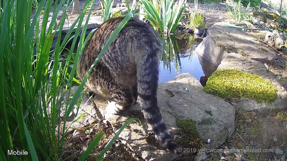 Cat drinking from pond
