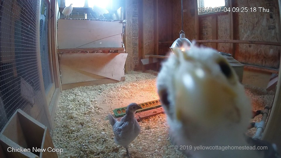 Chick pecking camera