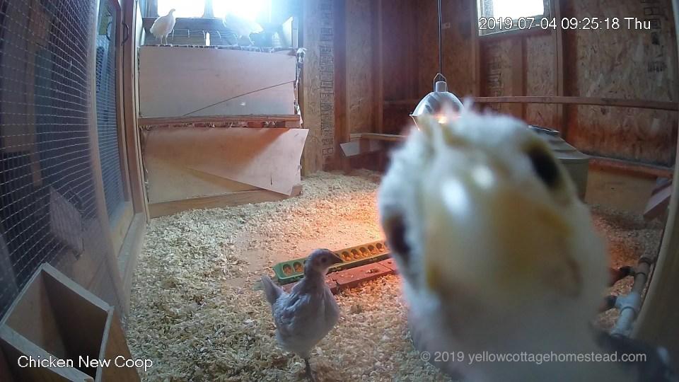 Chick pecking camera
