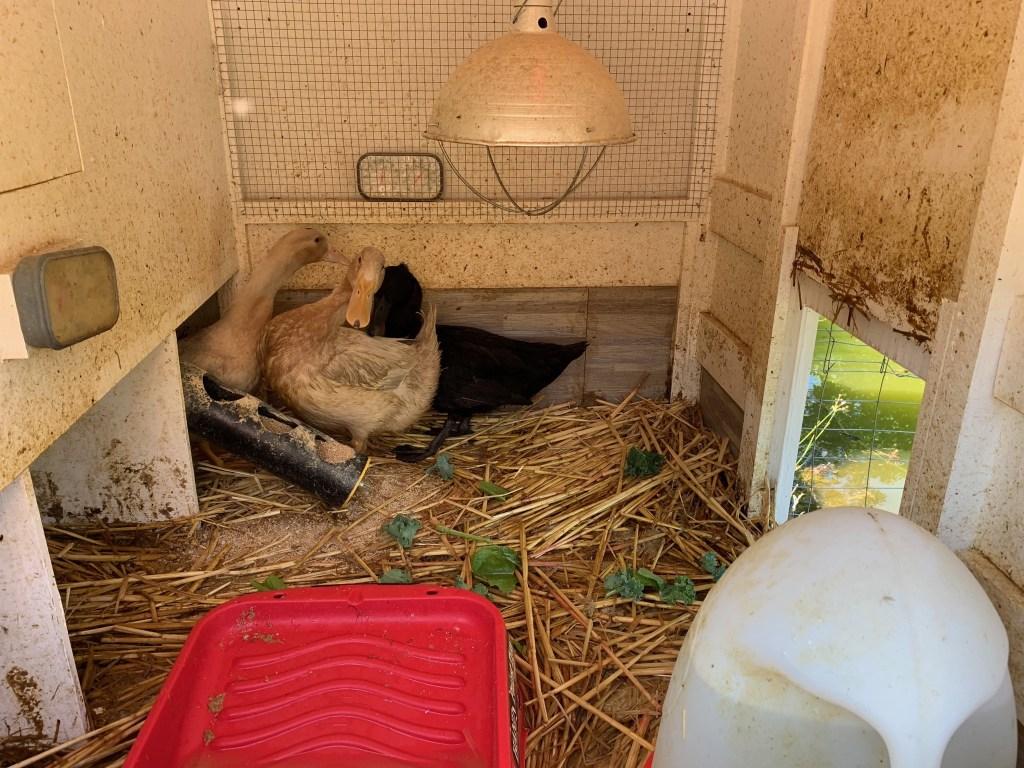 Ducklings unsure about open door