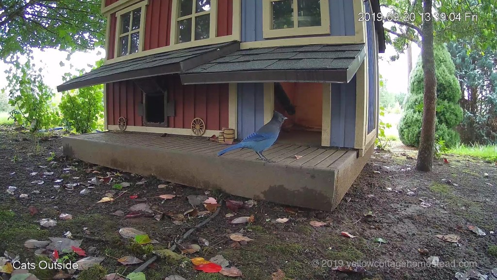 Steller's Jay making poor life choices
