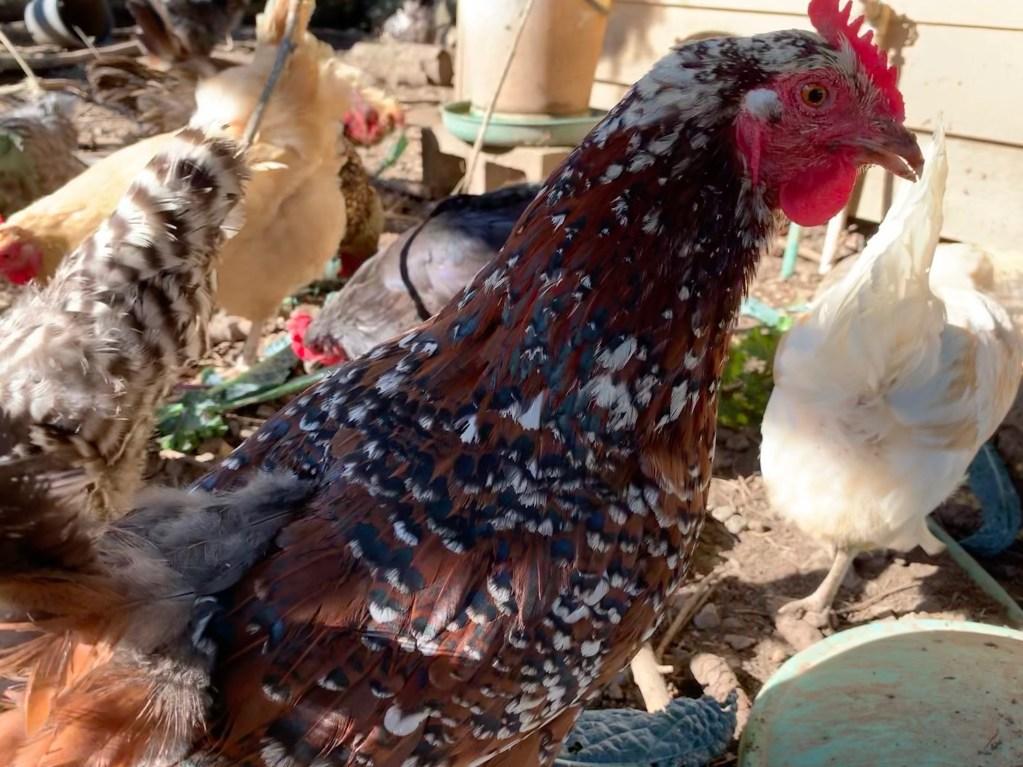 Kiwi chicken