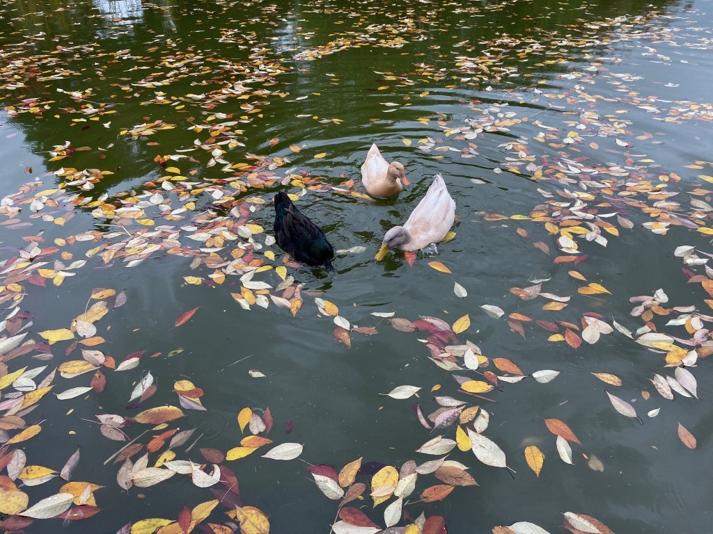 Ducks with lots of leaves in the pond