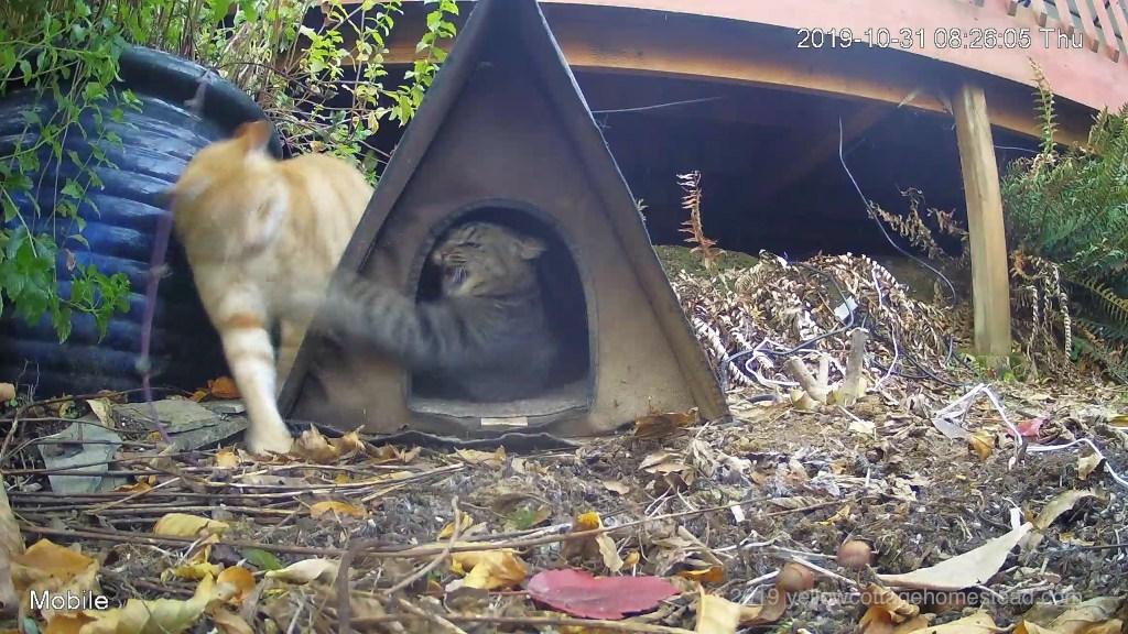 Pumpkin investigating cabin