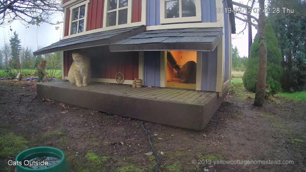Pumpkin waiting while a cat eats