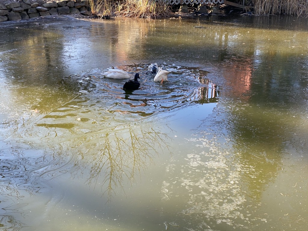 Ducks swimming in non-frozen portion by pump