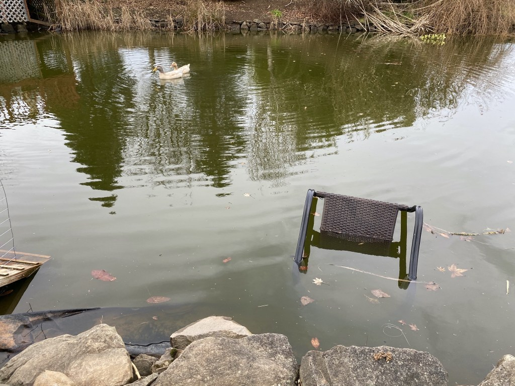 Ducks and chair in pond
