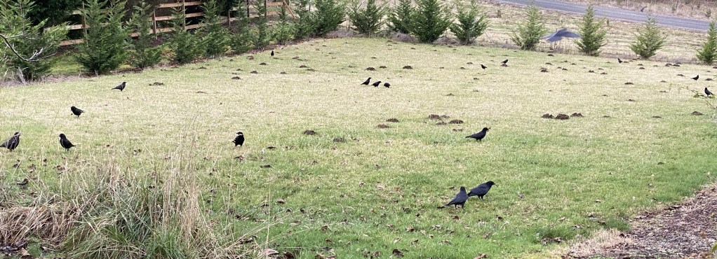 Crows in field