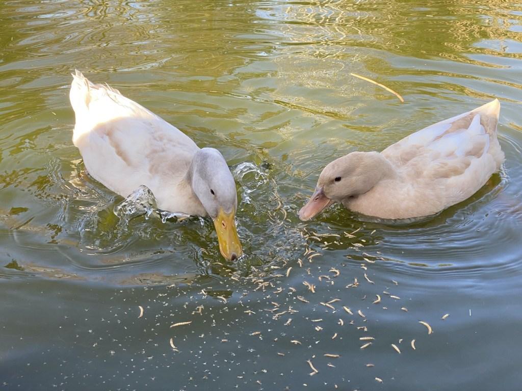 Ducks with treats