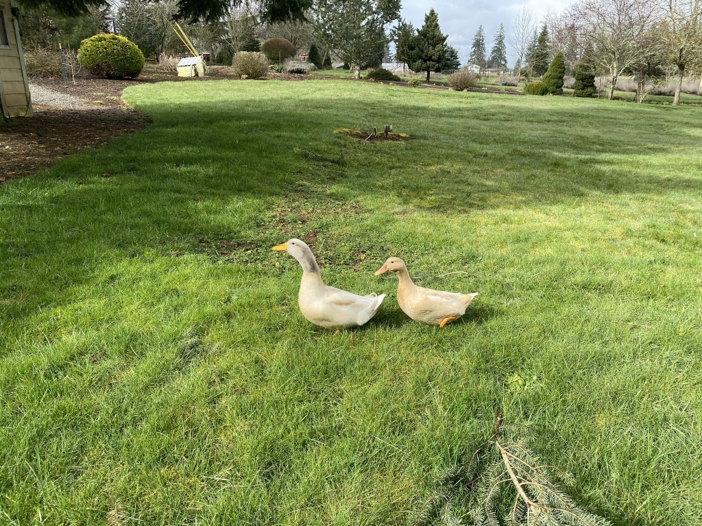 Ducks on back lawn again