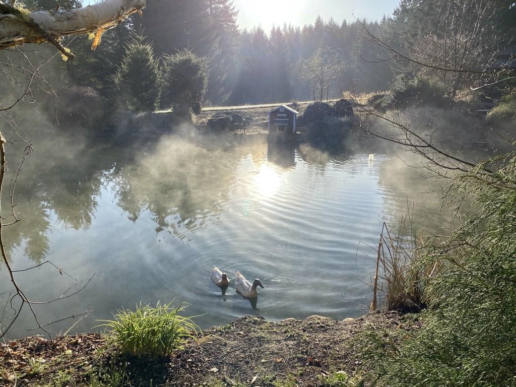Misty ducks
