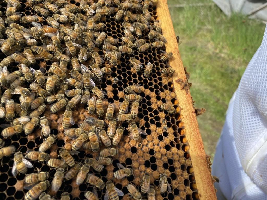 Cedar hive queen