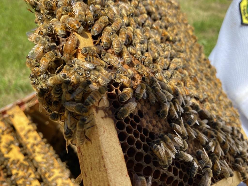 Purple hive queen