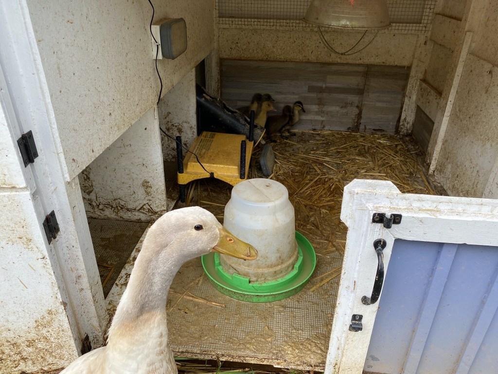 Bert and ducklings