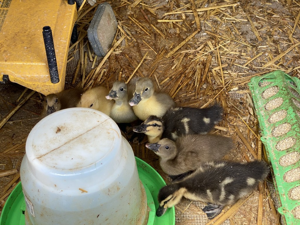 Ducklings drinking