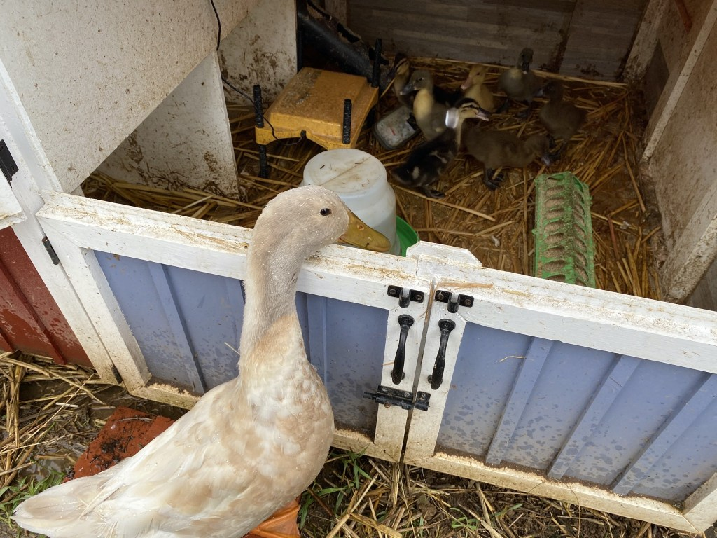 Bert peeking at ducklings
