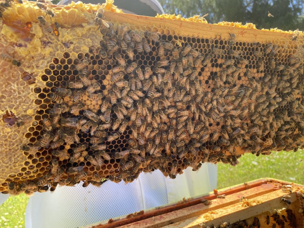 Yellow honey and brood frame