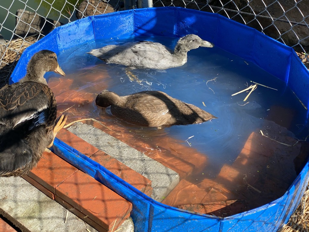 Ducklings in pool