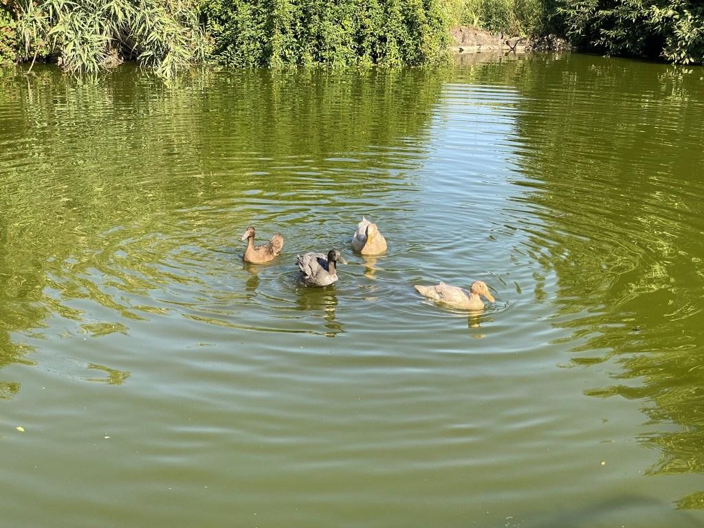 Bert and the female ducks