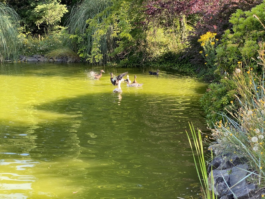 All the ducks in the pond