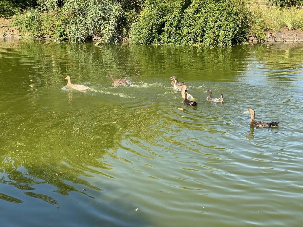 Duck zoomies
