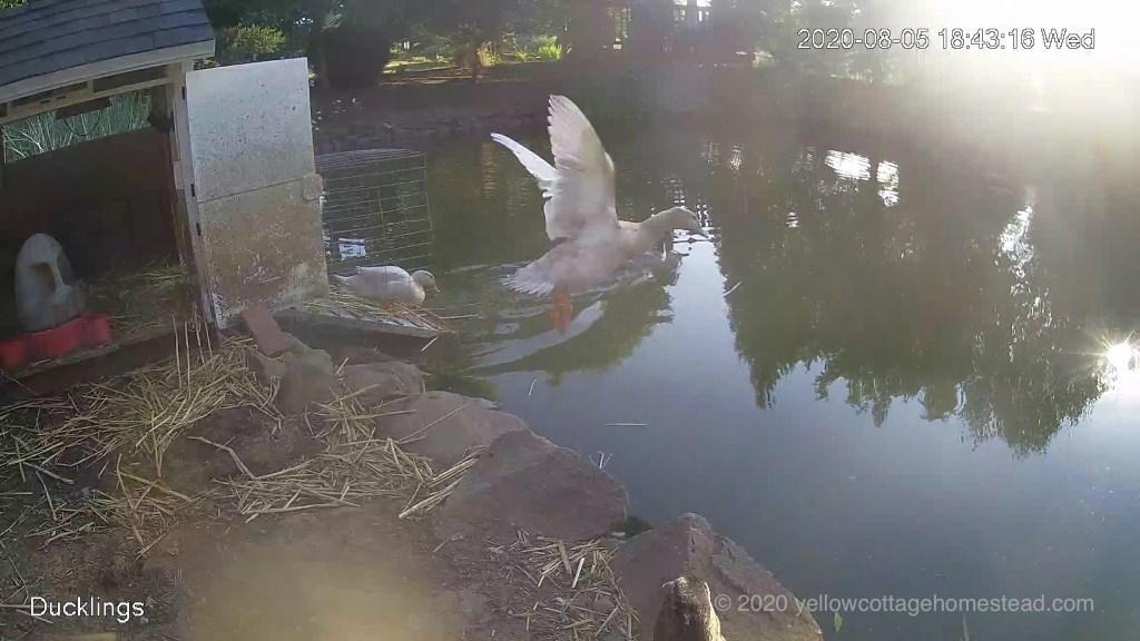Bert flying into pond