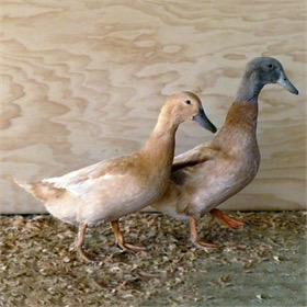 Buff Duck Pair
