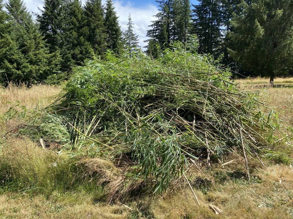 Bamboo on burn pile