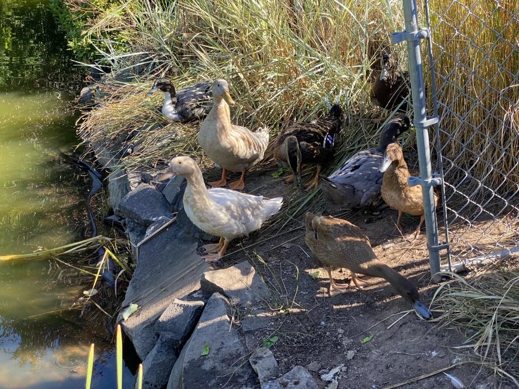 Ducks on the pond bank