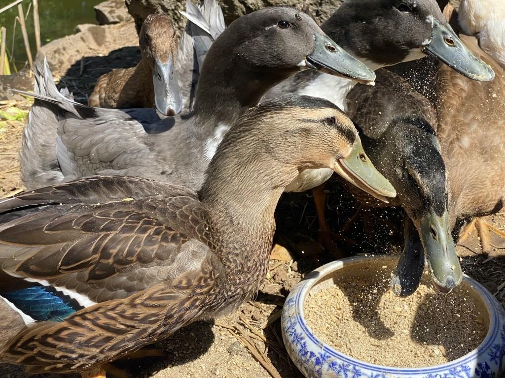 Ducks eating