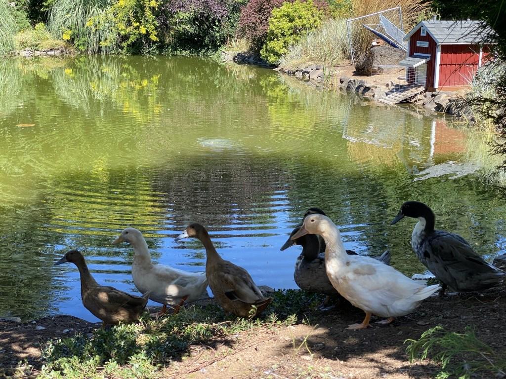 Ducks on the bank