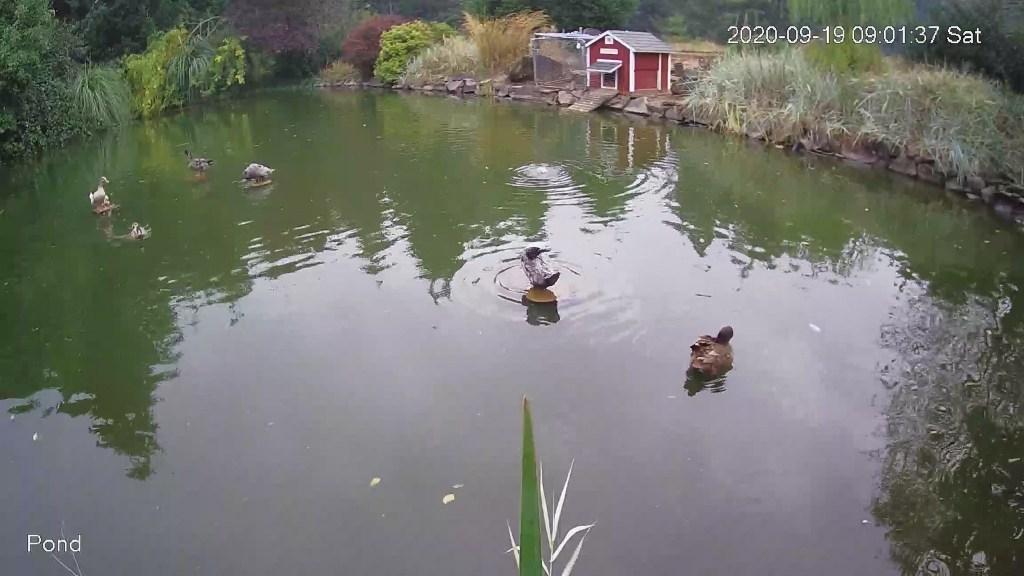 Ducks on islands