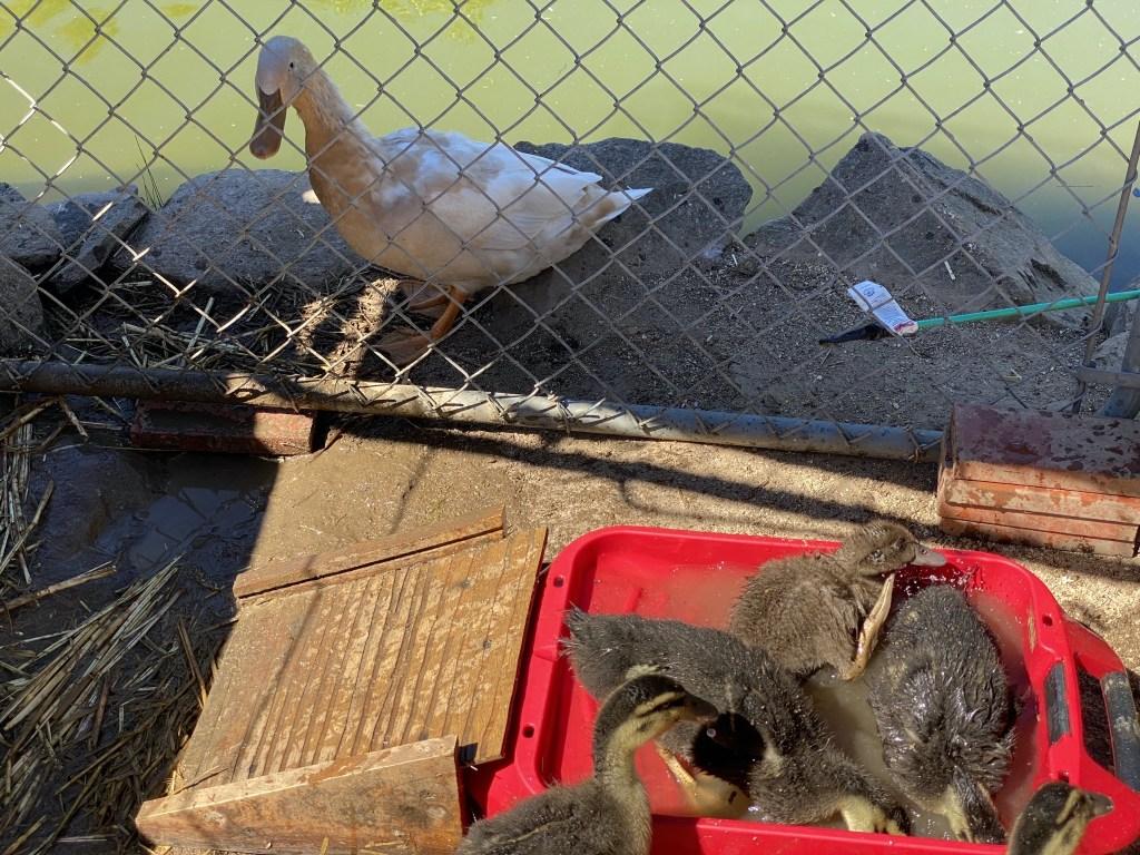 Ducklings and ducks