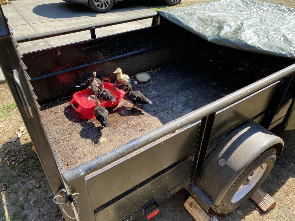 Ducklings in trailer