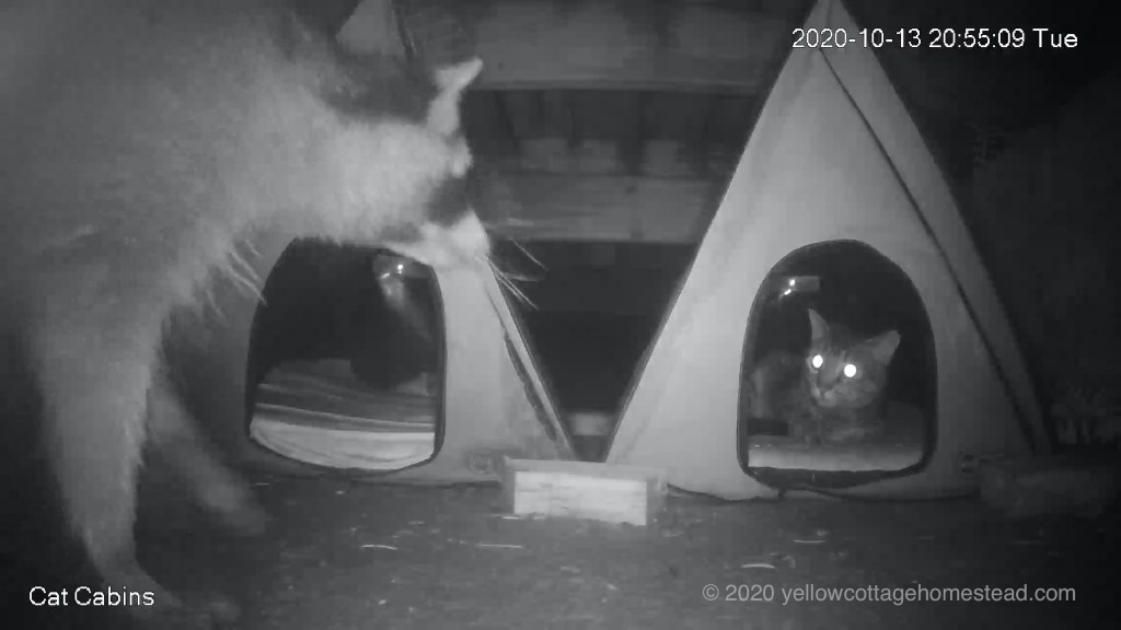 Raccoon and cat