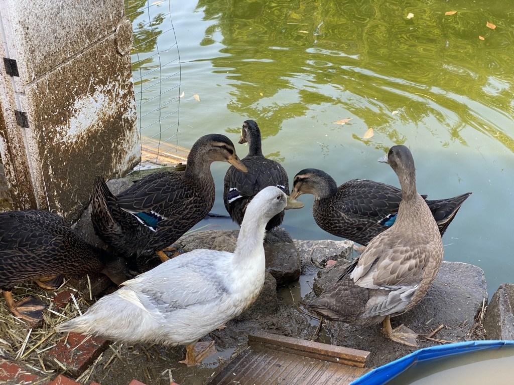 Ducks on edge of pond