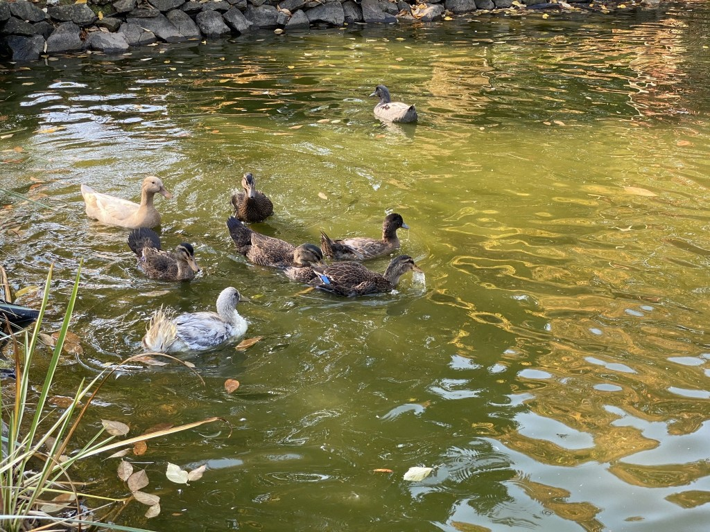New ducks in pond