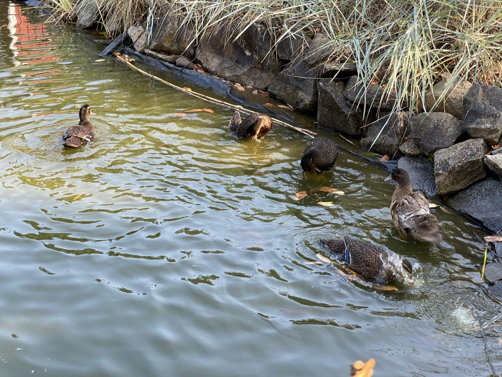 New ducks in pond