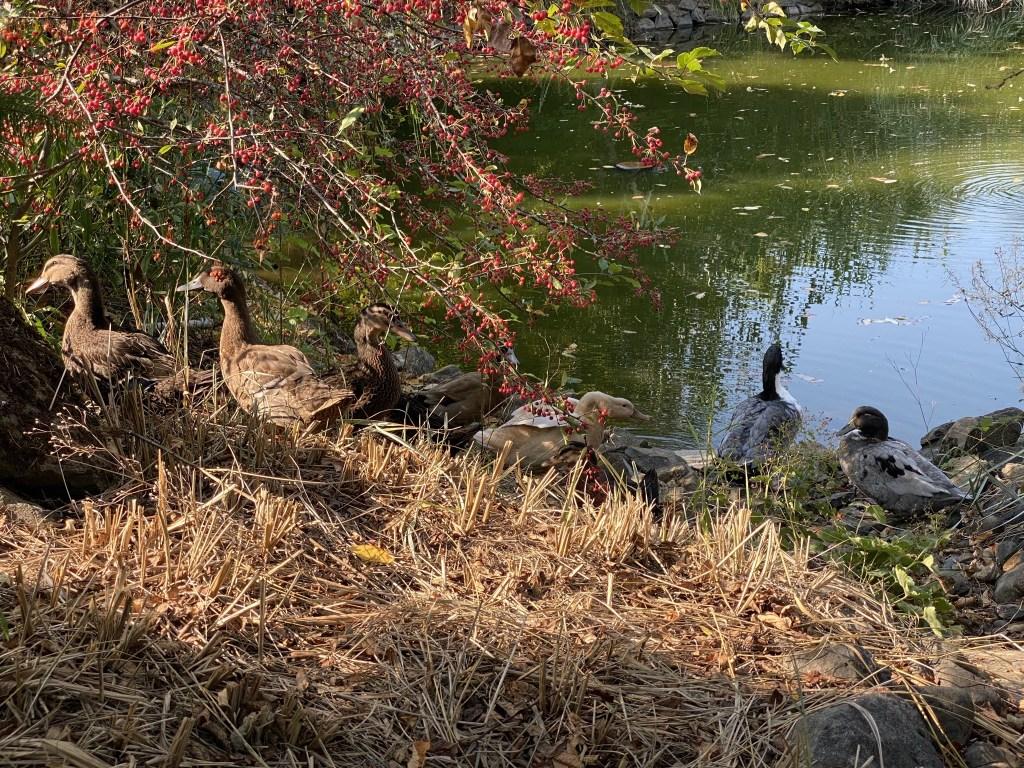 Ducks by waterfall