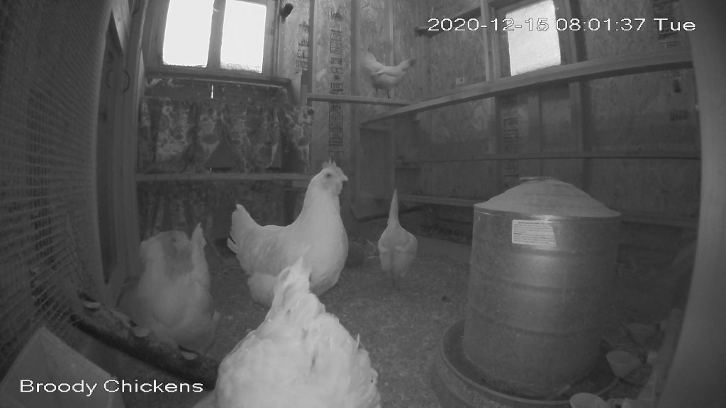 Chickens exploring new roosts