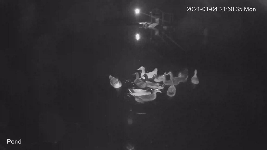 Night ducks