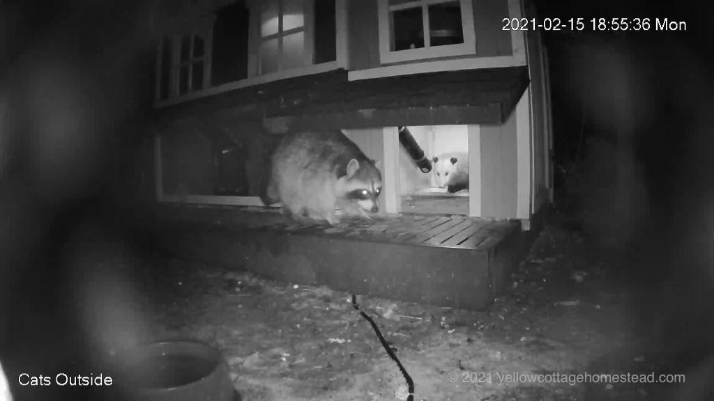 Raccoon and possum